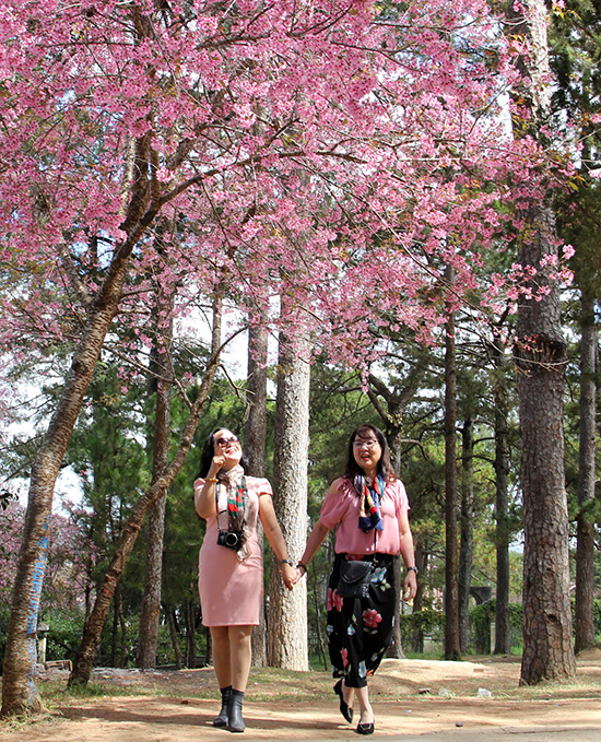 From inner streets of Tran Hung Dao, Hung Vuong, Le Dai Hanh, Ho Tung Mau and around the Xuan Huong Lake, to suburb area such as Trai Mat, Xuan Tho, Xuan Truong and the roads around Tuyen Lam Lakes national tourist area, visitors can enjoy the beauty of the five-petaled pink flower.