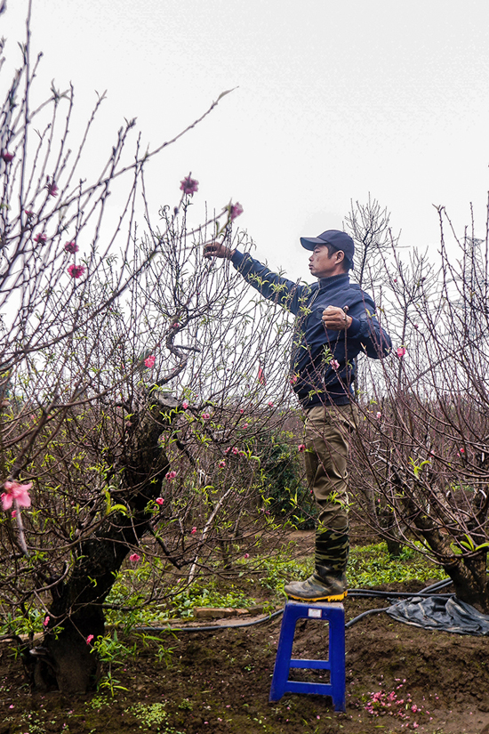 Son, a 44-year-old villager, said that in addition to selling peach trees, he also leases them during Tet.