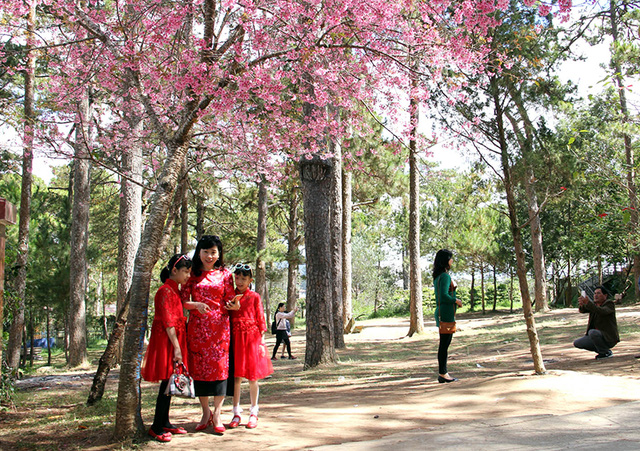It can be said that Mai Anh Dao cherry blossom is the specialty of the Da Lat city in the spring.
