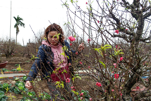 Thuy, 49, who has around 30 years of work experience, said that during these days, she has to hire 10 employees to take care of the peach trees and transported peach trees and branches for customers.