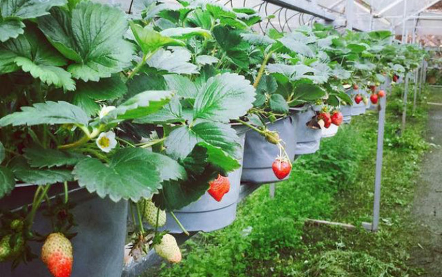 Strawberries have long been known as a characteristic fruit of Da Lat. Red ripe strawberries are fragrant, sweet, and nutritious.