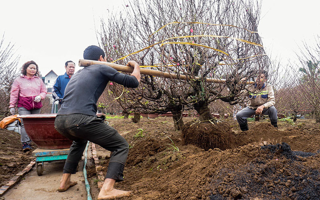 Uprooting a peach tree before transporting to customers