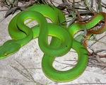 Nhiều người dân hiểu sai quá trình sơ cứu khi bị rắn lục đuôi đỏ cắn