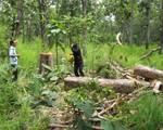 Khó ngăn chặn người dân phá rừng Quốc gia Yok Đôn