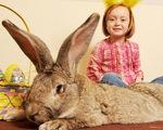 Chiêm ngưỡng chú thỏ to nhất thế giới