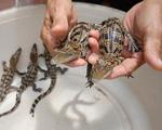 ĐBSCL: Thương lái ồ ạt mua cá sấu con