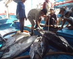Ngư dân Khánh Hòa lãi lớn từ cá ngừ đại dương