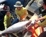 El Nino ảnh hưởng tới khai thác cá ngừ đại dương