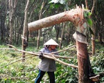 Hơn 6.000 ha cao su bị chặt bỏ trong năm 2015