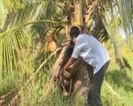Trà Vinh: Hàng trăm cây dừa đột ngột chết