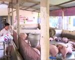 Cần kiên quyết bóc gỡ tận gốc chất cấm trong chăn nuôi