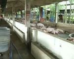 Phát hiện nhiều vi phạm về chất tạo nạc trong chăn nuôi