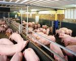 Giám sát việc sử dụng chất cấm trong chăn nuôi gặp nhiều khó khăn