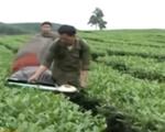 Đài Loan (Trung Quốc) siết chặt kiểm tra chè đen Việt Nam