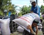 ĐBSCL: Giá lúa Hè Thu giảm do mưa nhiều