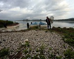 Mexico: 40 tấn cá chết gây ô nhiễm môi trường