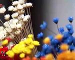 Kỳ lạ loài hoa cúc không tàn trong… 10 năm