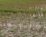 Hỗ trợ 284,5 tỷ đồng để khắc phục hạn hán, xâm nhập mặn