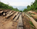 Phú Yên: Khai thác gỗ lậu trở thành... chuyện thường