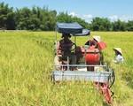 Giá gạo toàn cầu sẽ tăng mạnh vì El Nino