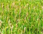 Lúa Thái Bình mất mùa dù đã phun thuốc BVTV: Lỗi tại ai?