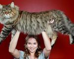 Những chú mèo siêu bự khiến con người trở thành tí hon