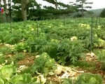 Nạn trộm cắp nông sản đe dọa nông dân