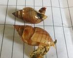 Hà Tĩnh: Xác minh loại ốc lạ khiến 3 ngư dân tử vong