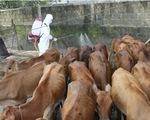 Bùng phát dịch lở mồm long móng tại tỉnh Phú Yên