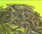 Mô hình nuôi tôm sinh thái hiệu quả cao ở Sóc Trăng