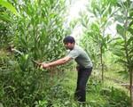 Hộ nghèo được vay lãi suất 1,2/năm để trồng rừng, chăn nuôi