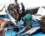 Khai thác cá ngừ đại dương: Nghịch lý giữa thu nhập và sản lượng