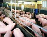 Phạt tới 5 năm tù nếu sử dụng chất cấm trong chăn nuôi