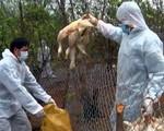 Nguy cơ bùng phát dịch cúm A/H5N6 tại Kon Tum