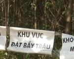 Quảng Trị: Bắt được 2 con trâu trong đàn trâu hoang