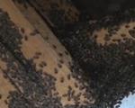 Bọ đậu đen bu kín nhà dân ở Kon Tum