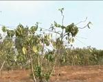 Bến Tre: Hạn, mặn khiến giá cây giống tăng đột biến