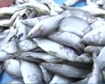 Đà Nẵng: Cá chết rải rác không liên quan đến sự cố nhiễm độc