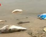 Cá chết dạt vào biển Đà Nẵng