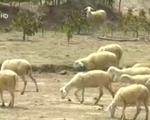 Cừu rớt giá - Khó khăn chồng chất mùa nắng hạn