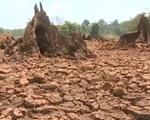 Hạn hán khốc liệt ở Đăk Lăk: Người khát cháy, cây chết khô