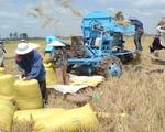 Lần đầu tiên giá lúa Đông Xuân đứng ở mức cao trong 4 tháng