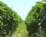 Hạn hán kéo dài, nông dân California phủ nilon giữ ẩm cho cây