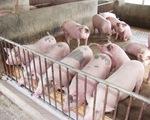 Hậu Giang: Bắt quả tang vụ bơm nước và thuốc an thần cho lợn