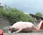 Bình Phước xử lý cơ sở vứt hàng trăm xác lợn chết ra môi trường