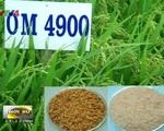 Việt Nam nghiên cứu giống lúa thích nghi với điều kiện nhiễm mặn