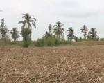 Sóc Trăng: Người trồng mía trắng tay vì hạn hán, xâm nhập mặn