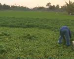 Lộ mánh khóe dùng nhớt tưới rau, nông dân Củ Chi có nguy cơ bỏ nghề