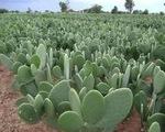 Gợi ý cây trồng để chống chọi với hạn mặn