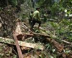 Phóng viên Huy Kha: Phá rừng Pơ mu là cảnh phá rừng khủng khiếp nhất mà tôi từng thấy